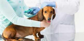 vacuna perros.