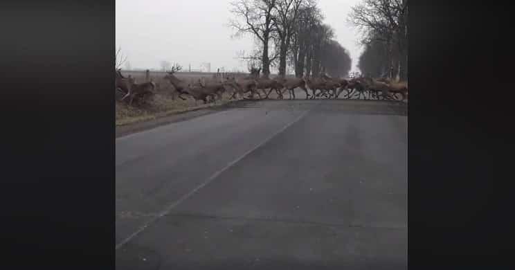 video cientos de ciervos viral