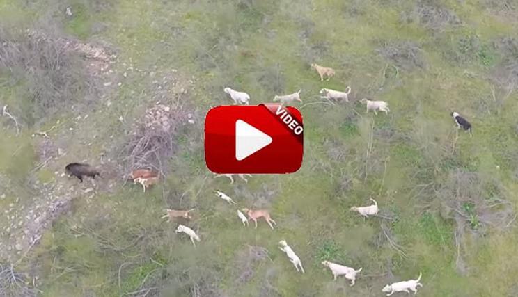El vídeo homenaje a la rehala que está enamorando a los cazadores