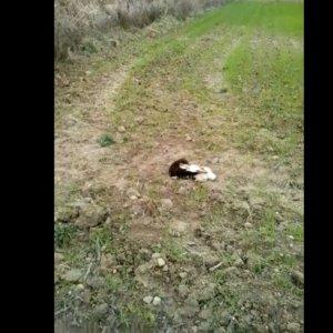Un agricultor graba a una especie invasora atacando a una liebre