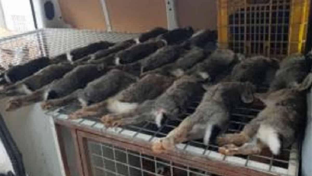 Hasta 6.000 euros de sanción por capturar 24 conejos en un polígono industrial