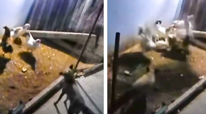 Esto es lo que pasa cuando un zorro entra en un gallinero