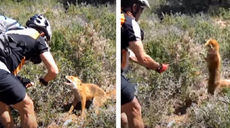 Un ciclista intenta 'rescatar' a un zorro de un lazo y este le clava los colmillos: «¡Me ha mordido!»