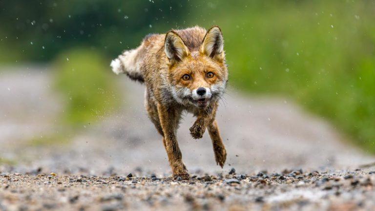 Zorro corriendo en un camino. /Shutterstock