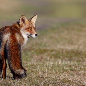 Cómo cazar zorros con perro en pajares