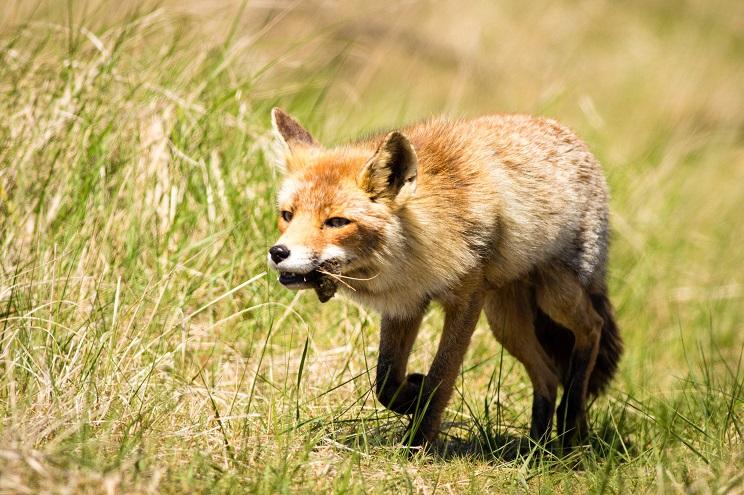 Un zorro rabioso ataca a una mujer y la hija la defiende con un hacha y una pala