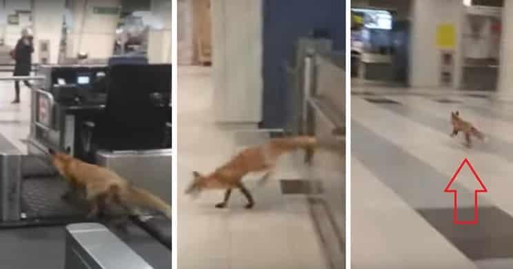 Un zorro se cuela en el aeropuero de Moscú y siembra el caos