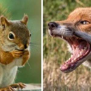Un zorro espera tumbado el momento exacto para atacar y cazar a una ardilla