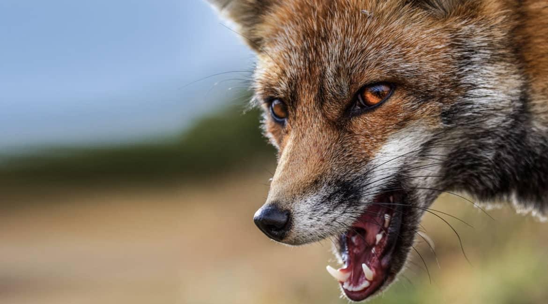 Tres viejas historias de caza de zorros para leer junto a la chimenea