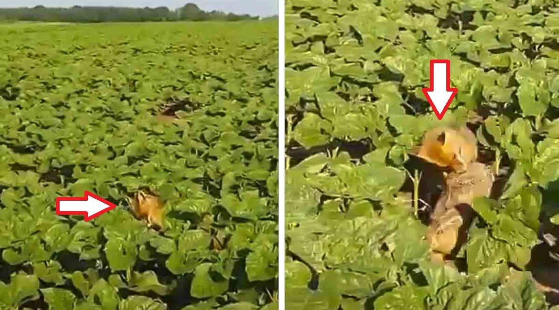 Graba el preciso instante en el que un zorro caza una liebre
