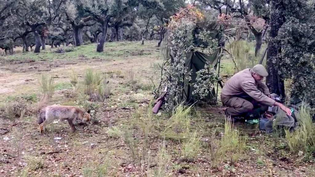 El cazador se acerca a sus pertenencias mientras el zorro se acerca. / Facebook