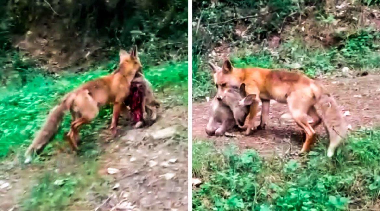 Graban a un zorro con un corcino recién matado en la boca