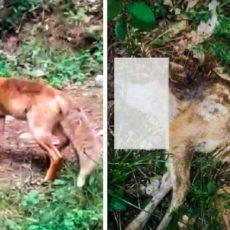 El cazador que grabó a un zorro que llevaba entre sus fauces a un corcino habla: «No me creían»
