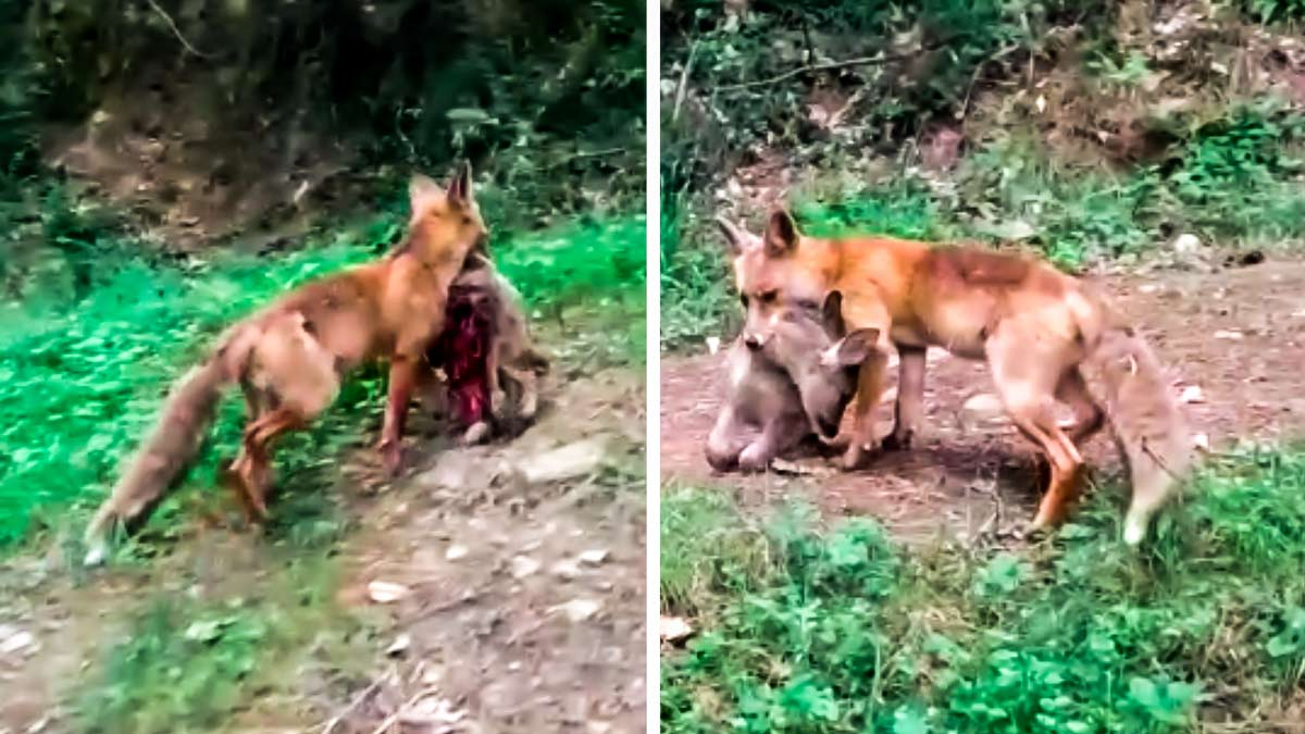 Graba a un zorro con un corcino muerto en sus fauces