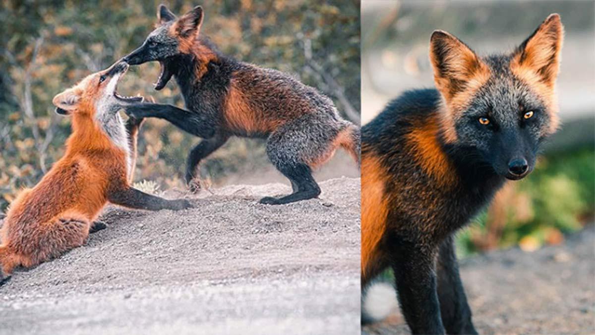 Fotografían a un zorro salvaje con un sorprendente pelaje