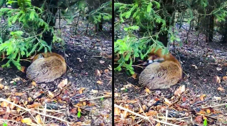 Un cazador se encuentra con un zorro durmiendo 'a pata suelta'