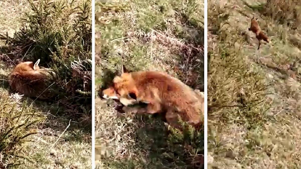 Se encuentra un zorro durmiendo como un tronco y lo graba con su móvil