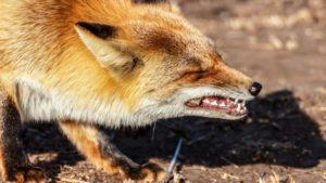 Condenado un furtivo al que los cazadores denunciaron por colocar cebos de morcilla con anzuelos