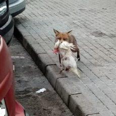 Pillan a un zorro con una gallina en sus fauces en medio de un pueblo de Asturias