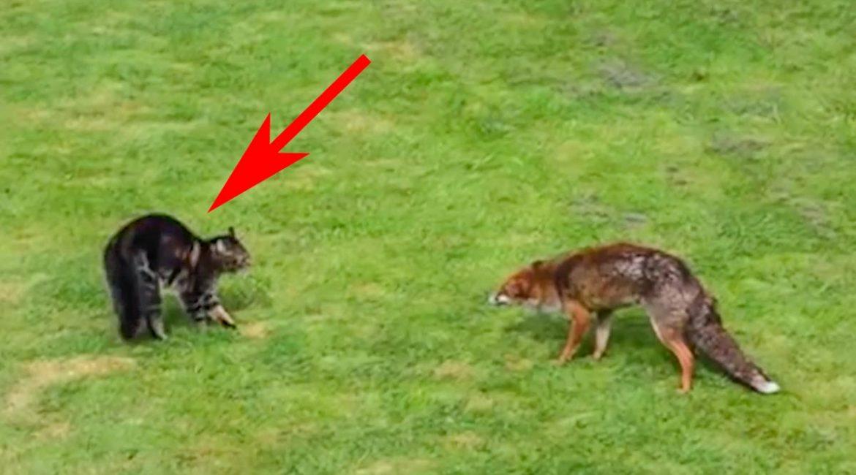 Un zorro intenta intimidar a un gran gato, pero elige al felino equivocado