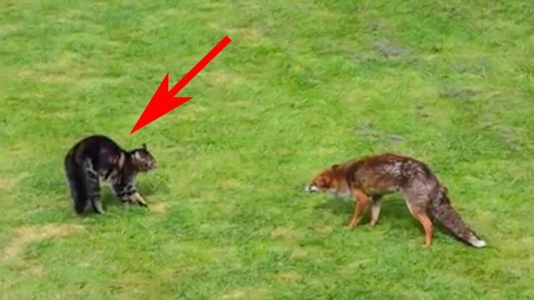 Momento en el que el gato hace frente al zorro.