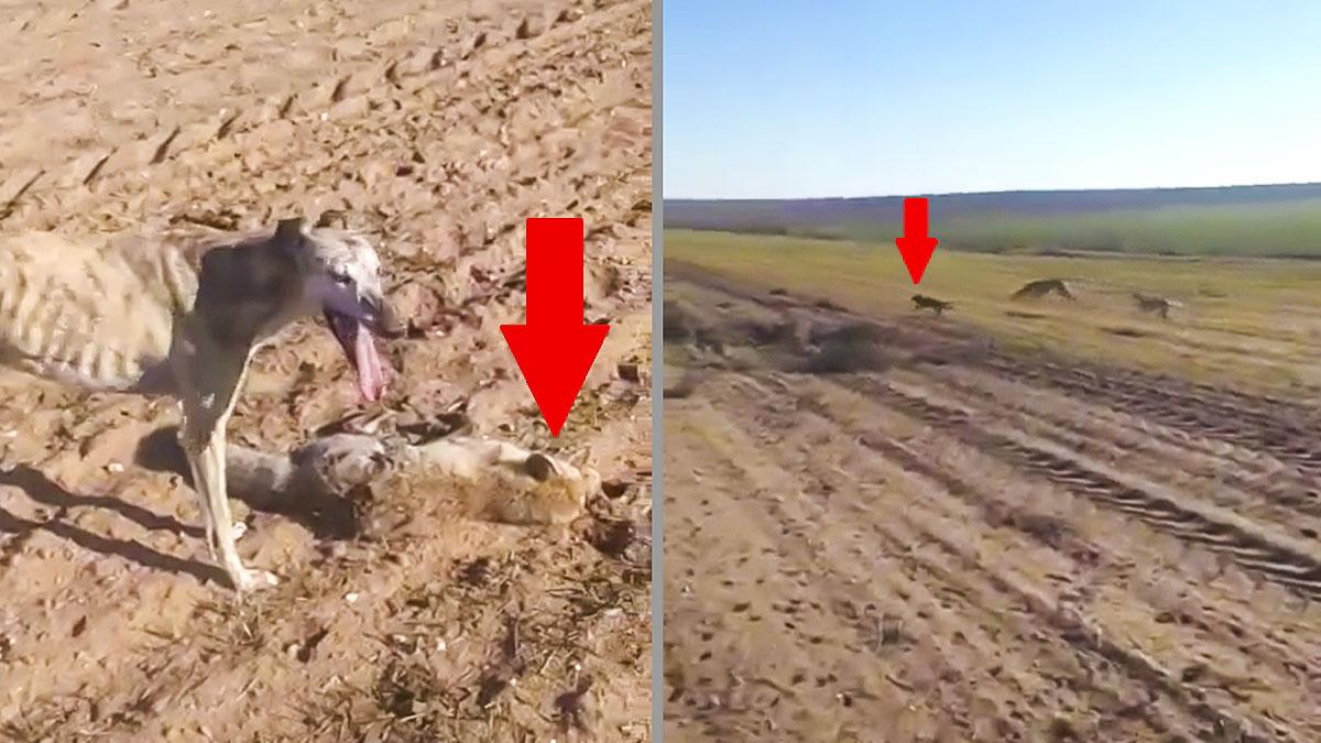 Dos galgos cazan a un zorro pero este les hace esta jugarreta para escapar