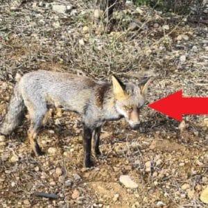 Graba a un zorro con una enfermedad no identificada: «Parecía mixomatosis»