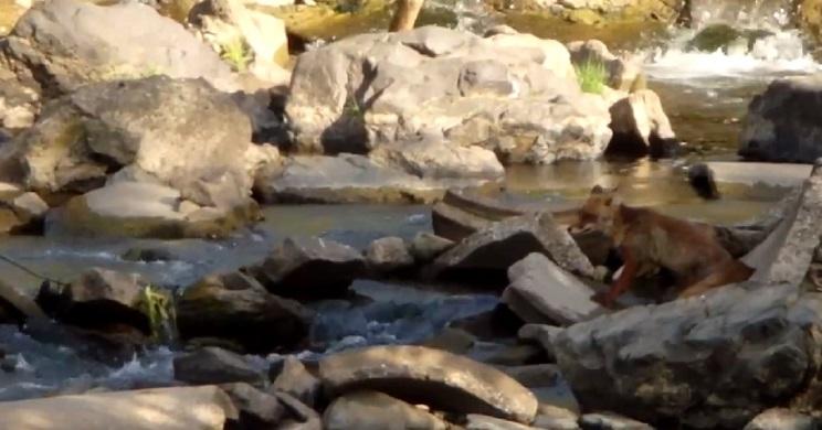 zorro pescando
