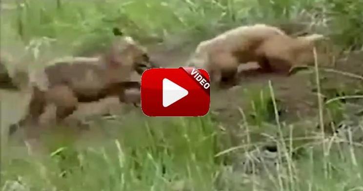Un zorro y un tejón pelean a muerte