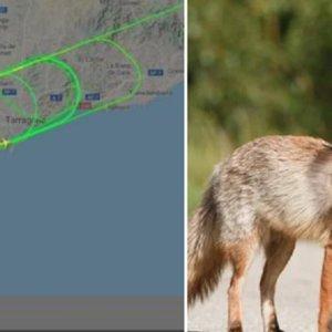 Un zorro impide durante una hora el aterrizaje de un avión