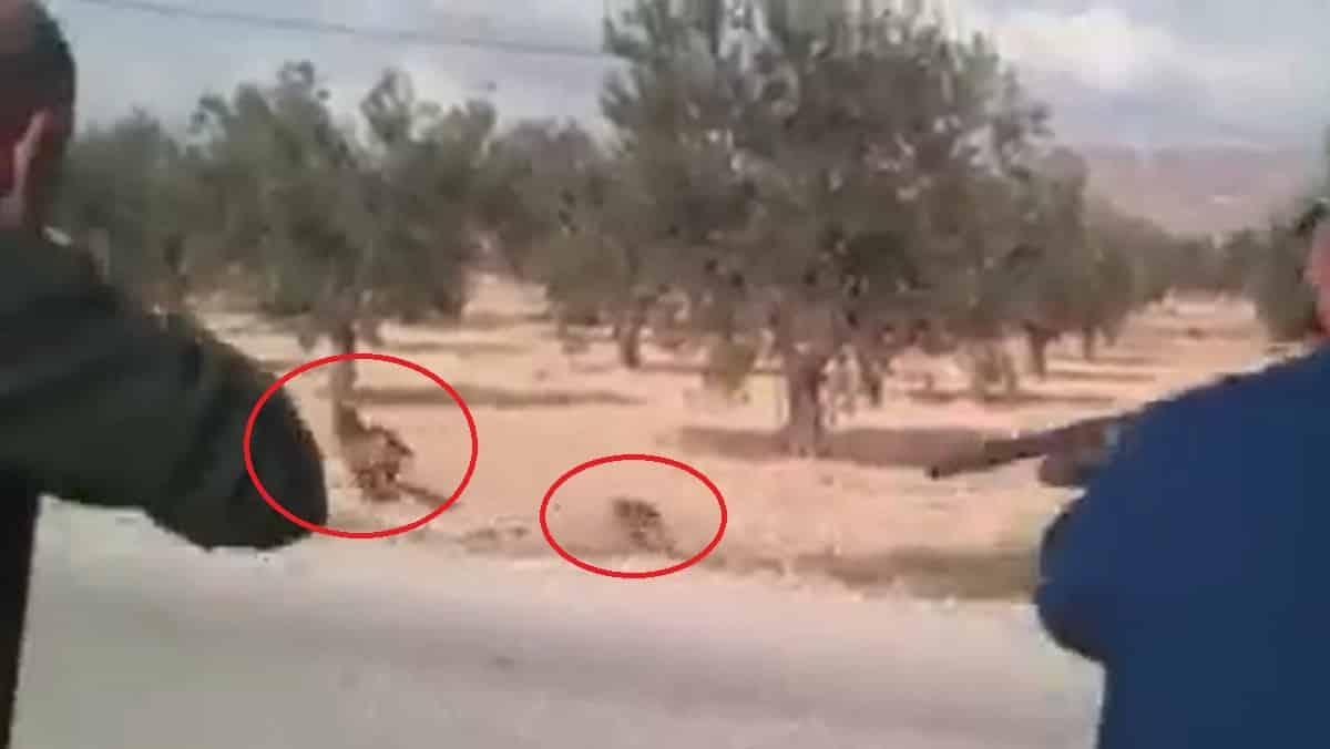 Varios perros de caza entran en la madriguera de un zorro y… ¡mira lo que sale!