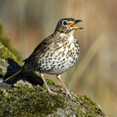 Caza y zorzales: Mutuasport lanzará un proyecto científico para garantizar su conservación