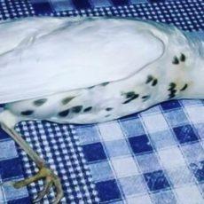 Un zorzal totalmente blanco cae a los pies de un cazador tras estamparse contra una valla
