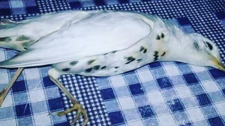 El zorzal blanco recogido por el cazador.